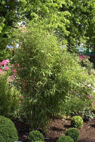 Bambus Baumschule Meyer