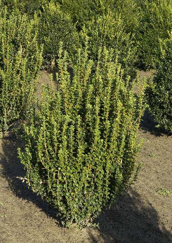 Buchsbaum * Buxus sempervirens ´Handworthiensis´