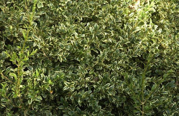 Buchsbaum *  Buxus sempervirens ´Variegata´