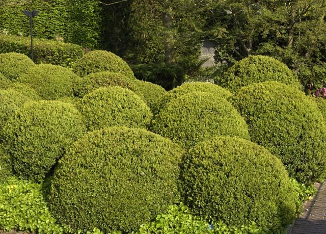 Ein Kugelgarten aus Buchsbaum.