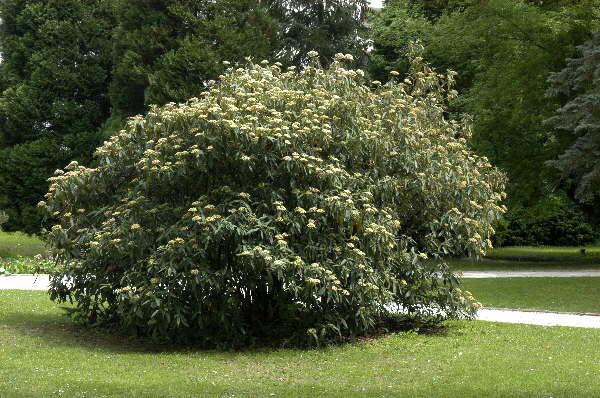 Runzelblättriger Schneeball * Viburnum rhytidophyllum