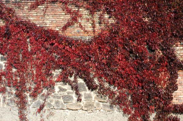Jungfernrebe * Parthenocissus quinquefolia var. engelmannii