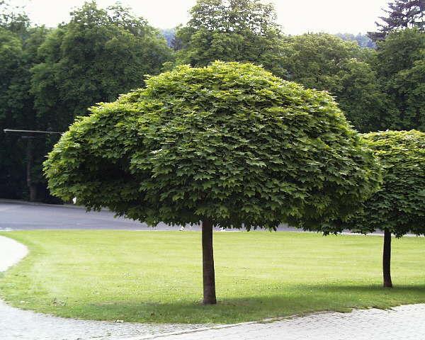 Kugel-Ahorn * Acer platanoides ´Globosum´