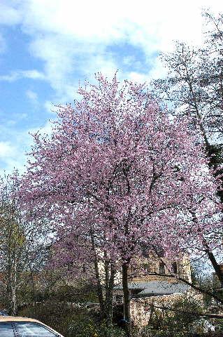 Blut-Pflaume * Prunus cerasifera ´Nigra´