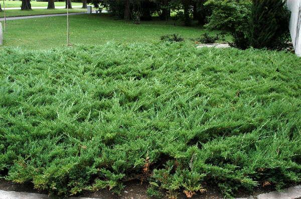 Tamarisken-Wacholder  * Juniperus sabina ´Tamariscifolia´