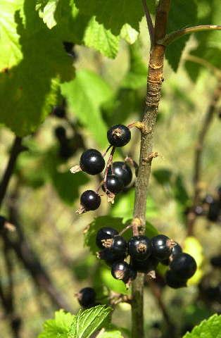 Schwarze Johannisbeere * Ribes nigrum